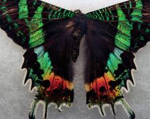Macro Madagascan Sunset Moth Chrysiridia Rhipheus