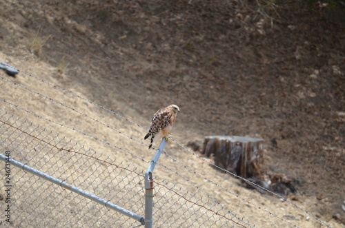 Hawk standing on barbed wire Canvas Print