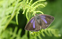 A Beautiful Female Purple Hairstreak Butterfly (Favonius Quercus) Perched On Bracken With Its Wings Open .