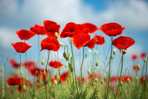 Aluminium Prints Poppy Flowers Red poppies blossom on wild field. Beautiful field red poppies with selective focus. soft light. Natural drugs. Glade of red poppies. Lonely poppy. Soft focus blur - Image