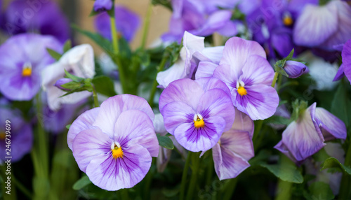 close up of purple pansy flower growing in the spring garden - selective focus
