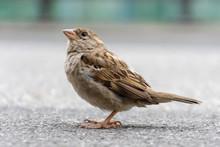 Female House Sparrow On The Gr...