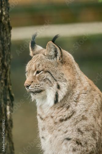 Fotobehang Lynx A big lynx is attentive outside in winter
