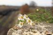 daisies close up