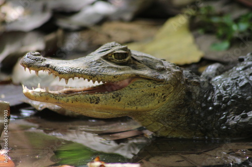 Poster Crocodile Baby Krokodil