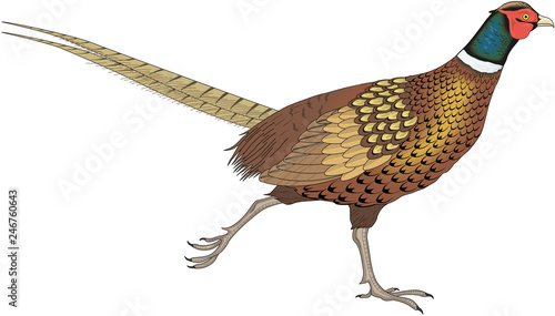 Fotografia Ring Necked Pheasant Running Vector Illustration