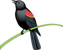 Red Winged Blackbird Vector Il...