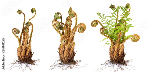 Fern Plant growing on white Background - Panorama