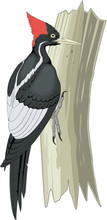 Ivory Billed Woodpecker On Tre...