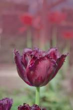 Violet Purple Tulip Black Jewel With Crystalline Fringed Edges Black Jewel