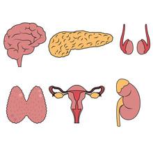 Human Endocrine System Organs Vector Illustration