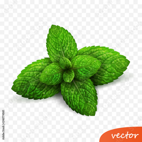 Obraz 3d realistic isolated vector sprout of fresh mint leaves with drops of dew - fototapety do salonu
