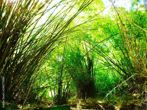 Papiers peints Vert chaux Cathédrale de bambous à Mayotte