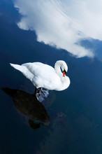 白鳥と水面