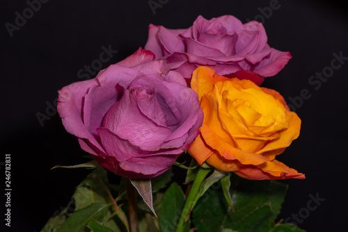 Foto  Fine art still life color macro of three red  and yellow orange rose blossoms wi