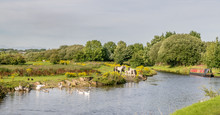Wildlife On The Leeds Liverpool Canal. Horses, Duck And Geese. Canal Barge.