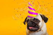 Dog Pdog Pug On A Yellow Background In A Cap. Tinsel Festive. Congraug On A Yellow Background In A Cap. Tinsel Festive. Happy Birthday. Little Dog. Dog Head Muzzle Dogs With Pink Tongue. Greeting Card