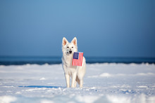 White Shepherd Dog Posing Outdoors In Winter With An American Flag In Mouth