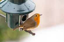 A Robin On A Bird Feeder In Th...