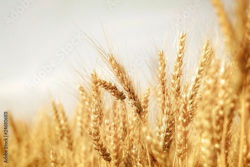 Canvas Prints Culture Wheat field
