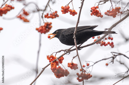 A blackbird sits on a branch and eats a red berry Wallpaper Mural