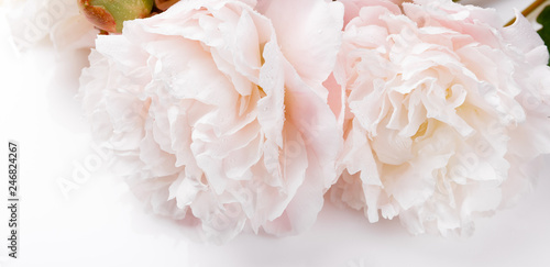 Fototapety, obrazy: Romantic banner, delicate white peonies flowers close-up. Fragrant pink petals