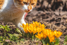 Yellow Blooming Crocuses And Red-white Cute Cat