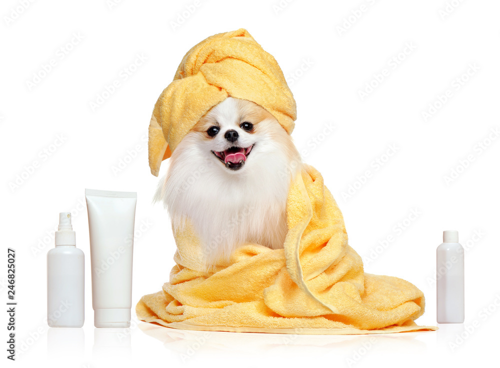 Spitz in towels after bathing isolated on white