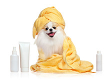Spitz In Towels After Bathing ...