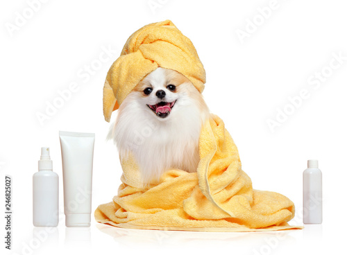 fototapeta na drzwi i meble Spitz in towels after bathing isolated on white