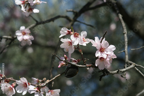 Photo  Pink almond blossoms in springtime