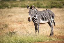Grevy Zebra In Samburu Is Stan...
