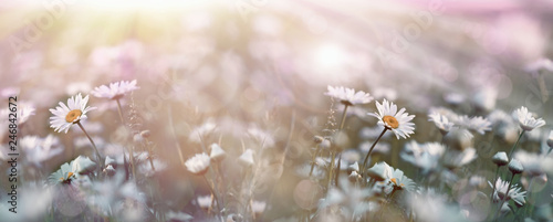 Foto op Canvas Madeliefjes Flowering, blooming flowers in spring, daisy flower in meadow lit by sunlight (sunbeams)