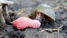 Snails Lay Eggs In Rice Fields