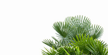 Palm Tree White Background