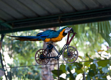 Trained Parrot Blue-yellow Mac...