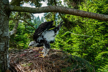 One Month Old Chick Of Bird Of Prey Golden Eagle Defecate From Tree Nest In Dense Pine Forest Of Northern Slovakia