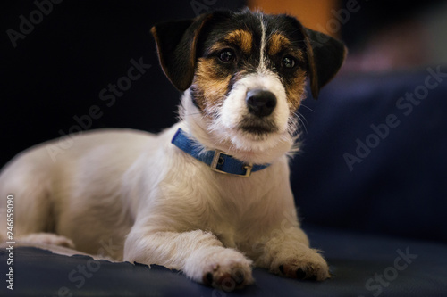 Fotografie, Obraz  Puppy purebred dog Jack Russell terrier looking at everything from the couch