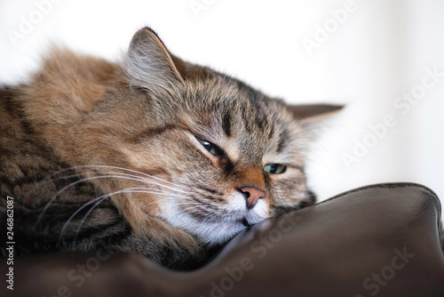Lazy cat sleeping on a leather brown couch.