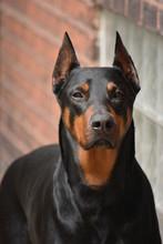 Black Doberman Dog Portrait