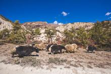 Yaks In Himalayan Mountains Of Nepal
