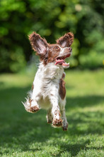 Young Springer Spaniel Jumping...