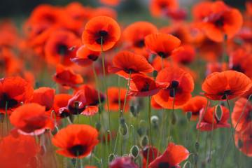 Polje rascvjetanih crvenih makova. Prekrasna polja crvenog maka. Crveni makovi na sunčevoj svjetlosti. Crveni makovi u travi.