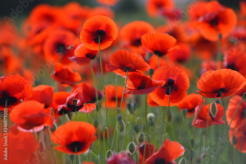 Fototapeta Field of blooming red poppies