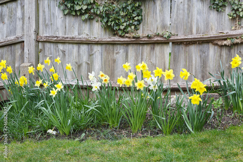 Canvas Daffodils in a garden
