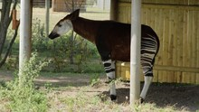 Okapi Stands Under Shelter Chewing, In Wildlife Park