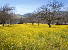 A Scene Of Yellow Mustard Plan...