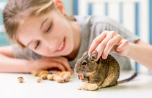 Young Girl Playing With Cute Chilean Degu Squirrel.