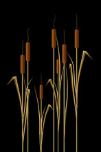 Cattails In Water Are The Subject Of This Natural Background Image.