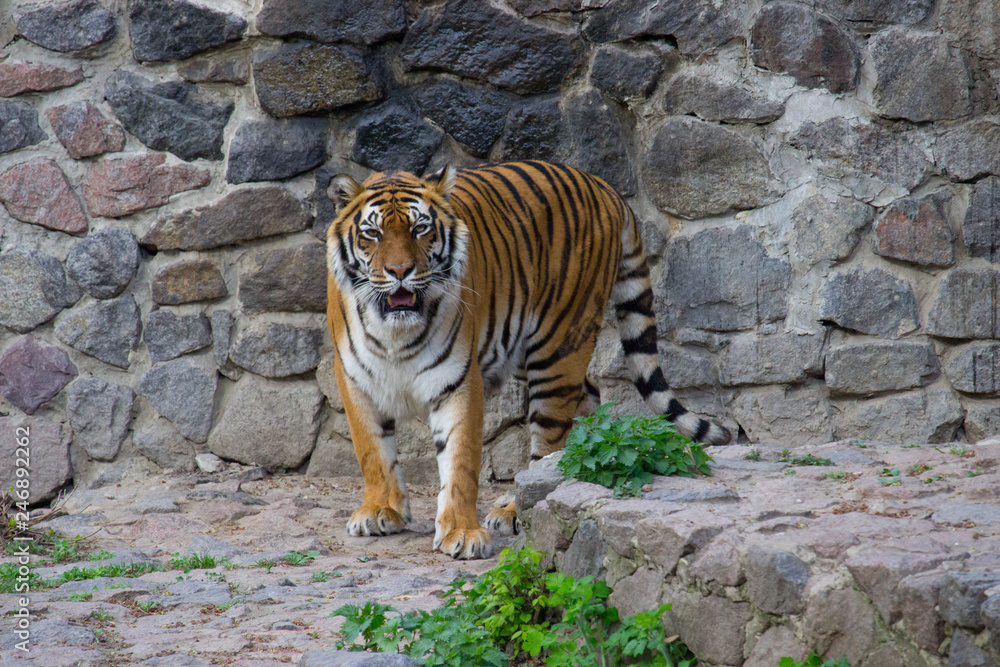 Tiger walking on a summer day